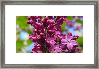 Fleur De Lilac Framed Print