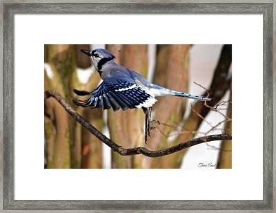 Flight Of The Blue Jay Framed Print