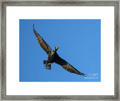 Flight Of The Comorant Framed Print by Mike Dawson
