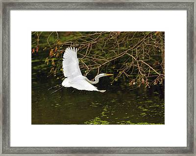 Flight Of The Egret Framed Print