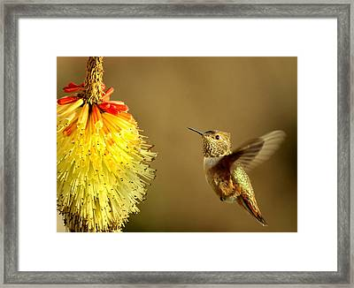 Flight Of The Hummer Framed Print by Mike  Dawson