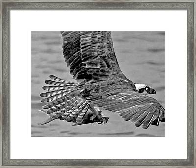 Flight Of The Osprey Bw Framed Print