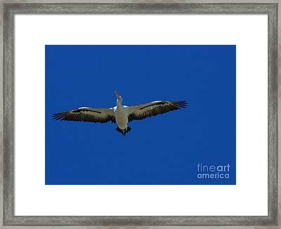 Flight Of The Pelican Framed Print by Blair Stuart