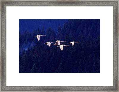 Flight Of The Swans Framed Print by Sharon Talson