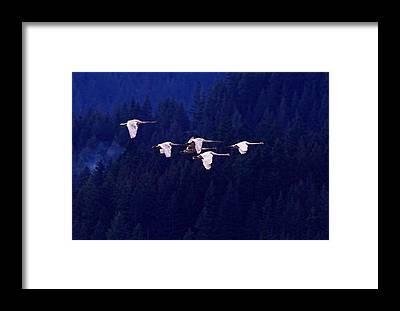 Trumpeter Swan Framed Prints