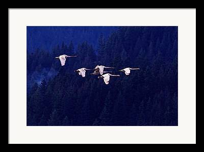 Swan In Flight Framed Prints