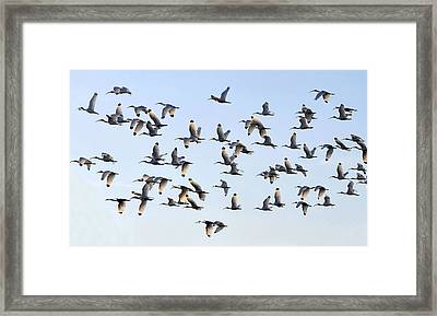 Flight Of The White Ibis Framed Print by David Lee Thompson
