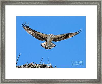 Framed Print featuring the photograph Flight Practice Over The Nest by Debbie Stahre