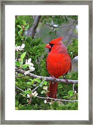 Flirty Red Framed Print by James F Towne