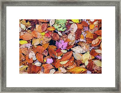 Floating Autumn Leaves On A Lake Framed Print