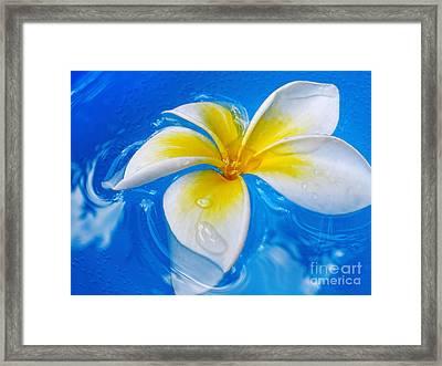 Floating Frangipani - Plumeria Alba Framed Print by Kaye Menner