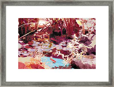 Floating Lilies Pads Above The Koi. Framed Print by Judy Loper
