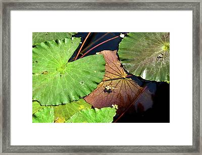 Floating Lily Pads Framed Print
