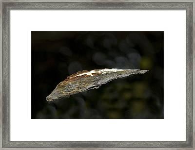Floating Milkweed Framed Print by Elsa Marie Santoro
