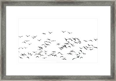 Flock Of Beautiful Migratory Lapwing Birds In Clear Winter Sky I Framed Print