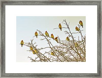 Flock Of Cedar Waxwings  Framed Print