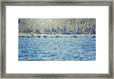 Flock Of Geese Framed Print by Janie Johnson