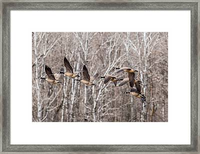 Flock Of Geese Framed Print by Paul Freidlund