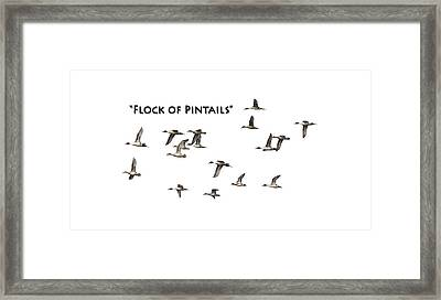 Flock Of Pintails Framed Print