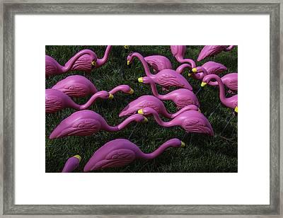 Flock Of  Plastic Flamingos Framed Print by Garry Gay