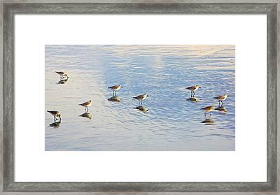 Flock Of Sanderlings Framed Print