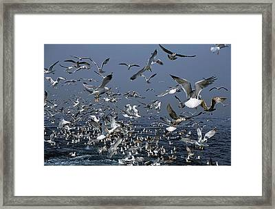 Flock Of Seagulls In The Sea And In Flight Framed Print