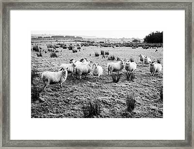 Flock Of Sheep In A Field Ballymena, County Antrim, Northern Ireland, Uk Framed Print by Joe Fox