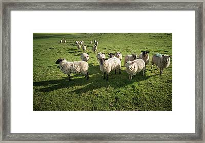 Flock Of Sheep In Spring Sunshine In English Farm Countryside La Framed Print by Matthew Gibson
