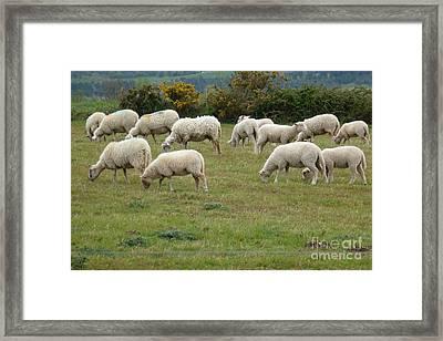 Flock Of Sheeps Framed Print by Jean Bernard Roussilhe