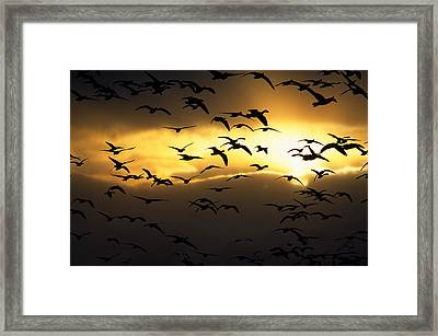 Flock Of Silhouetted Snow Geese Framed Print by Panoramic Images