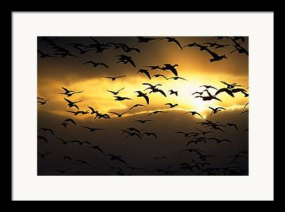The Flight Of The Snow Geese Framed Prints