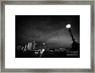 Flock Of Starlings Flying In Murmuration Over Lamp On Albert Bridge Belfast Northern Ireland Uk Framed Print by Joe Fox