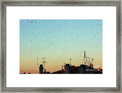 Flock Of Swallows Flying Over Rooftops At Sunset During Fall Framed Print by Sami Sarkis