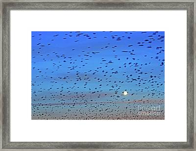Flock Of Swallows Migrating In Spring Framed Print by Sami Sarkis