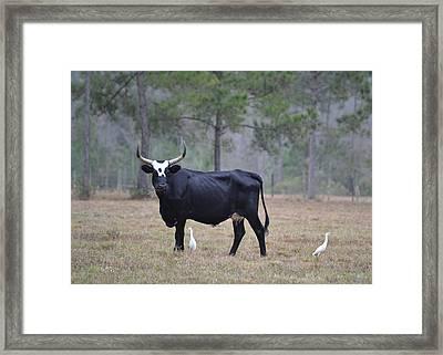 Floirida Cracker Cow - Cattle Egrets Framed Print