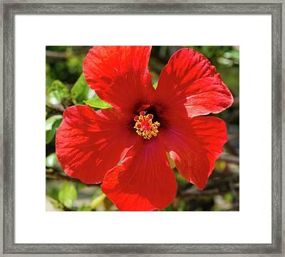 Flor De Pacifico - Hibiscus Framed Print by Andrea Mazzocchetti