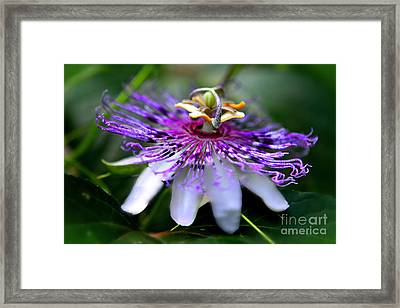 Flora Passiflora Framed Print by Willow Perkinson