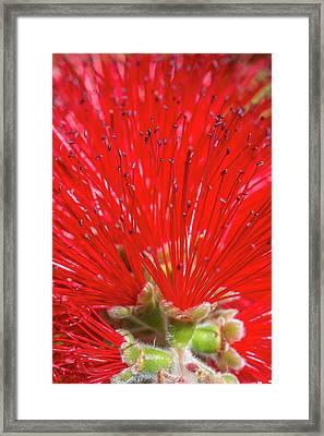 Floral Red Framed Print