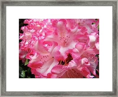Floral Rhodies Flowers Pink White Art Baslee Troutman Framed Print