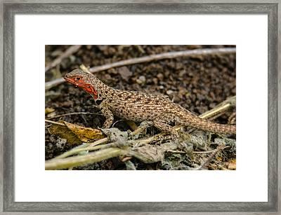 Floreana Lava Lizard Framed Print by Harry Strharsky