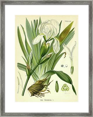 Florentine Iris  Framed Print