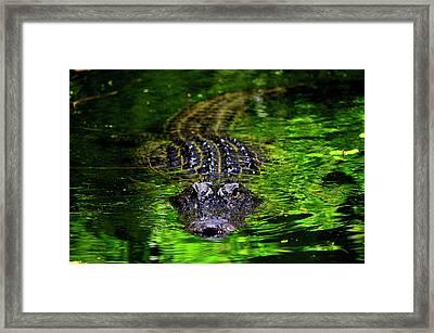 Florida Alligator Encounter Framed Print