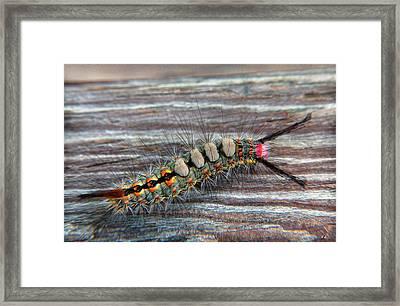 Florida Caterpillar Framed Print