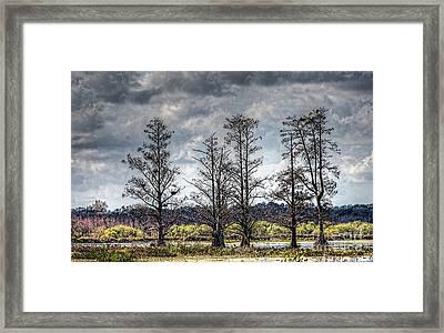 Florida Cypress Framed Print by Felix Lai