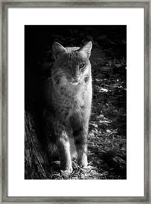 Florida Everglades Bobcat Framed Print by Mark Andrew Thomas
