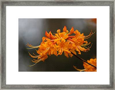 Florida Flame Azalea In Pastel Framed Print by Suzanne Gaff