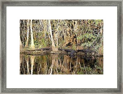 Florida Gators - Everglades Swamp Framed Print by Jerry Battle