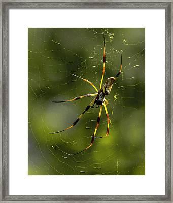 Florida Golden Orb Framed Print