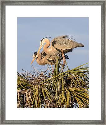Florida Great Blue Herons Nesting Four Framed Print by Bill Swindaman
