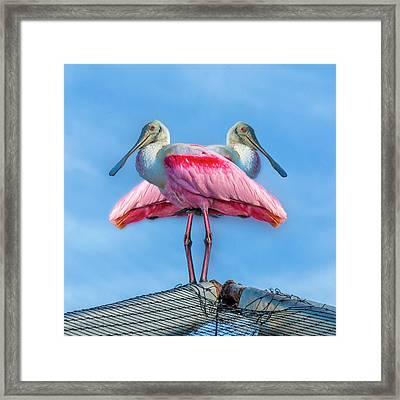 Florida Keys Roseate Spoonbill Framed Print